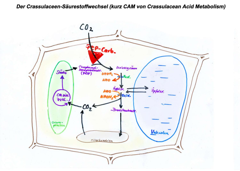 Photosynthese Nach Dem Cam Typ Unterrichtsmaterial Im Fach Biologie In 2020 Photosynthese Biologie Unterrichtsmaterial