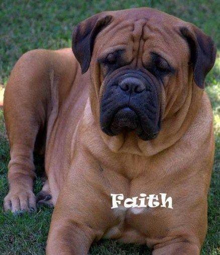 Arthur S Mother Red Fawn Bullmastiff