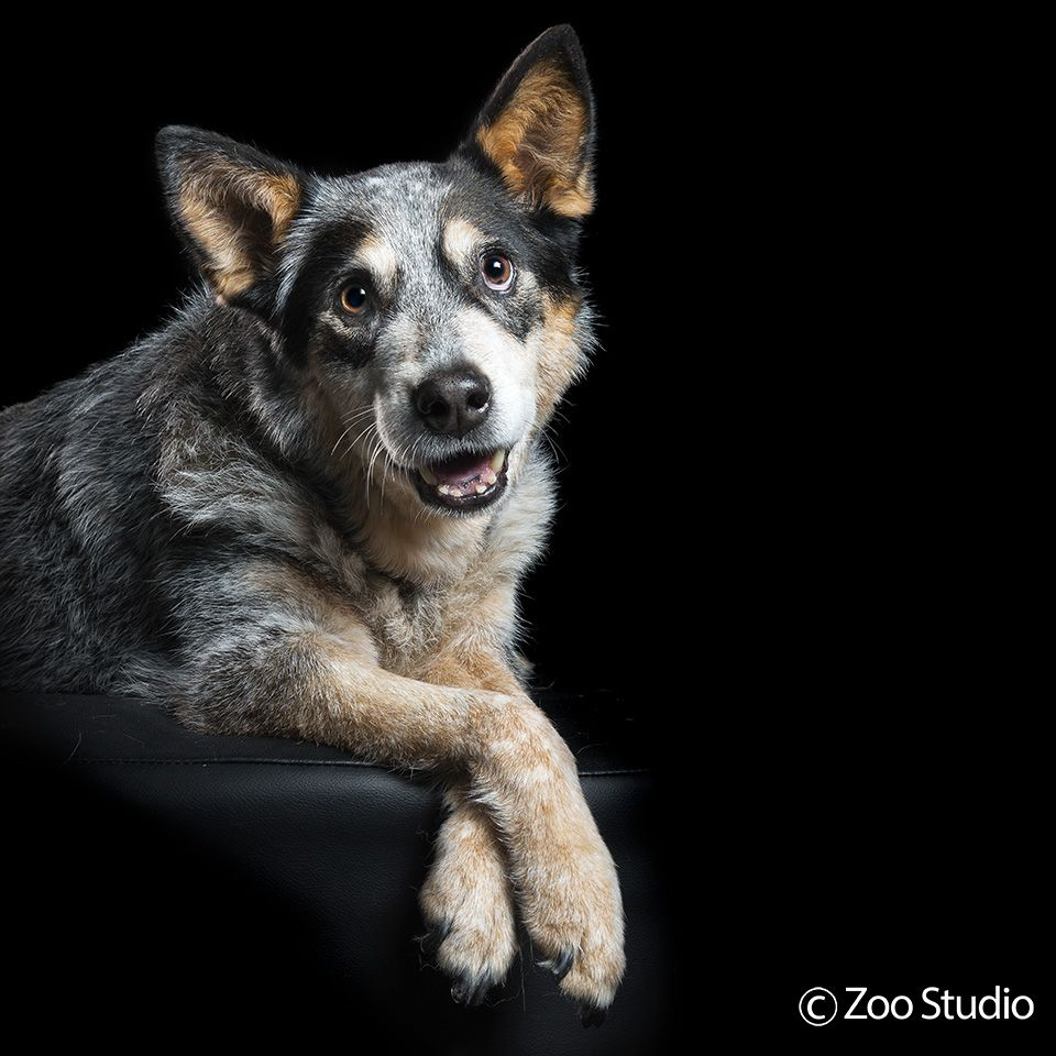 How S Your Day Going Zoo Studio Pet Photography Brisbane Animal Photography Animal Photo Cattle Dog