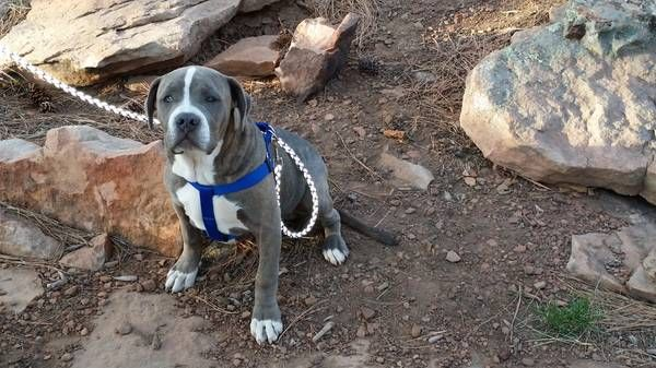 Reward 500 Lost Missing Blue Nose Pit 99th Ave And Jones Please Help Bring Home Our Missing Dog He Was Last Seen In The Ar Losing A Dog Police Canine Dogs