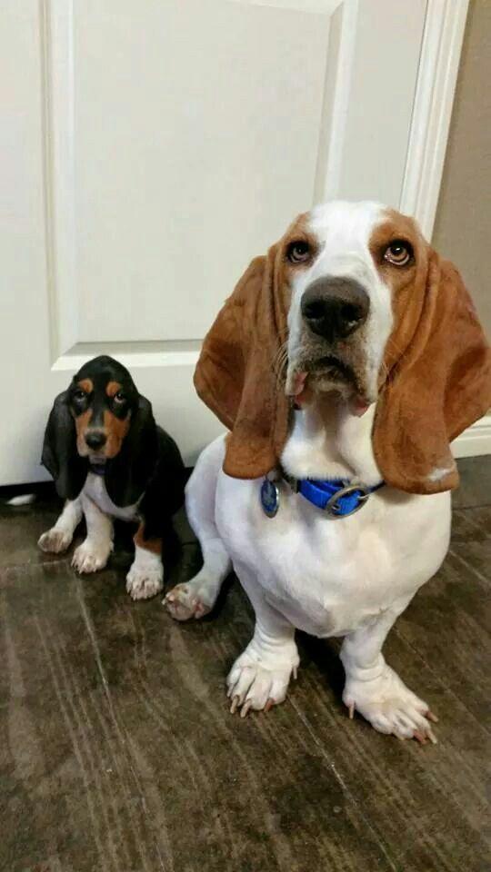 Uh mom.....who is that? Basset hound, Hound dog