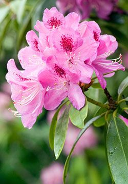 Pink Rhododendrons And White Azaleas Azalea Flower Flower Meanings Different Kinds Of Flowers