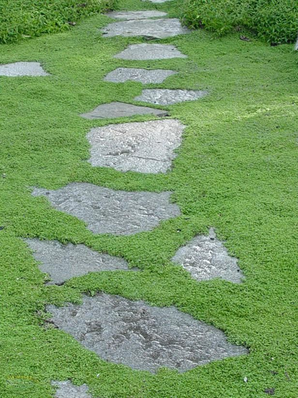 Irish Moss Sagina Subulata Stones Which Plants To Use As Lawn Alternative Home Improvement Diy Network