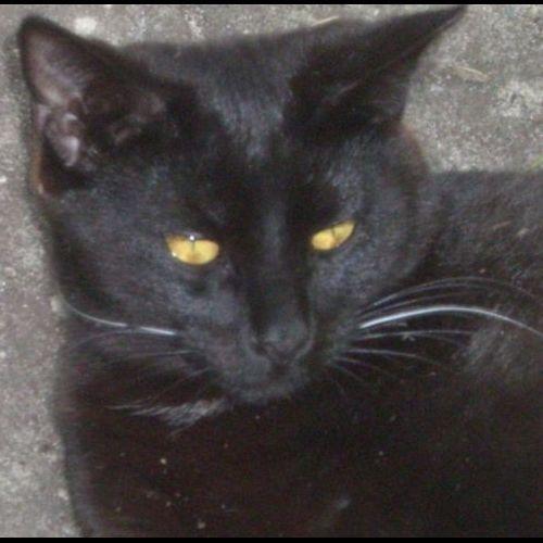LOST: Merlin http://ow.ly/DPu2m Male, Black, DSH #Maroubra #Sydney NSW #LostCatMaroubra #LostCatSydney #LostCatNSW #LostPetFinders