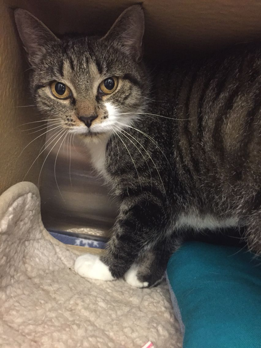 Lulu Is 2 Year Old Black White Tabby She Is Very Affectionate Loves Kisses Looking Out The Window Play And Be Brushed She I Cat Adoption Adoption Tabby
