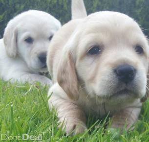 Golden Cocker Spaniel Labrador Pups For Sale In Cavan On Donedeal Golden Cocker Spaniel Labrador Puppies For Sale Cocker Spaniel