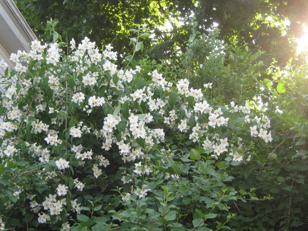 Mock Orange shrub which grows into a tree. Drought, heat