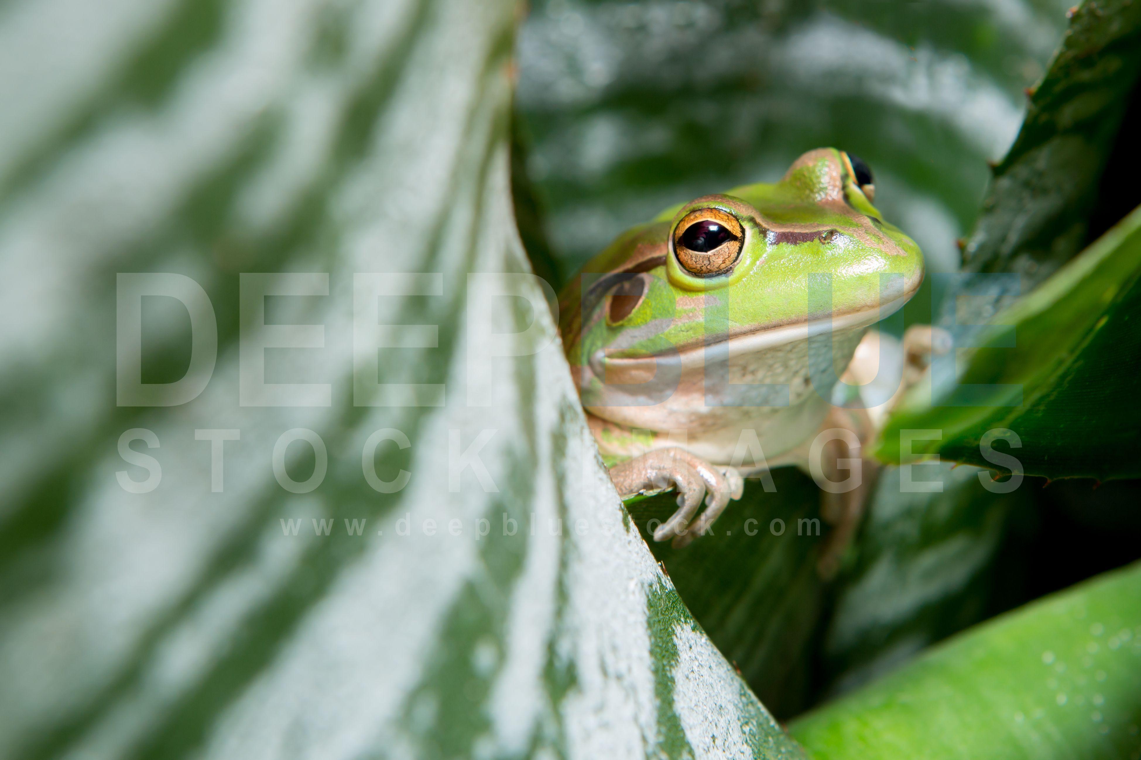 growling grass frog - Google Search | Australia animals ...