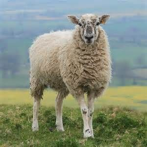 SHEEP - Yahoo Image Search Results
