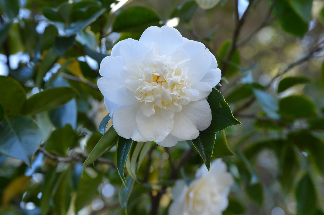 White Camellia Meaning Adorableness With Images Flower Meanings Flowers White Camellia