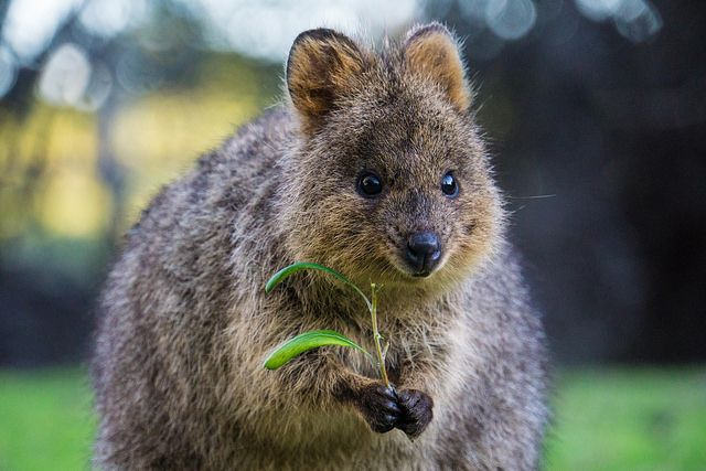 Q Is For Quokka Facts A Z Collection Of Really Cool Animals Quokka Animals Australian Animals