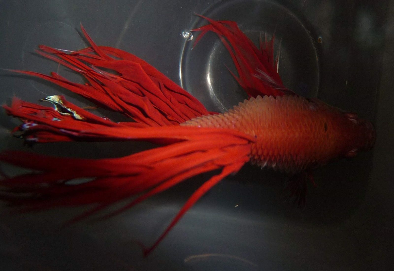 Betta Fish Dropsy - How To Treat It | Pinterest | Betta fish, Betta ...