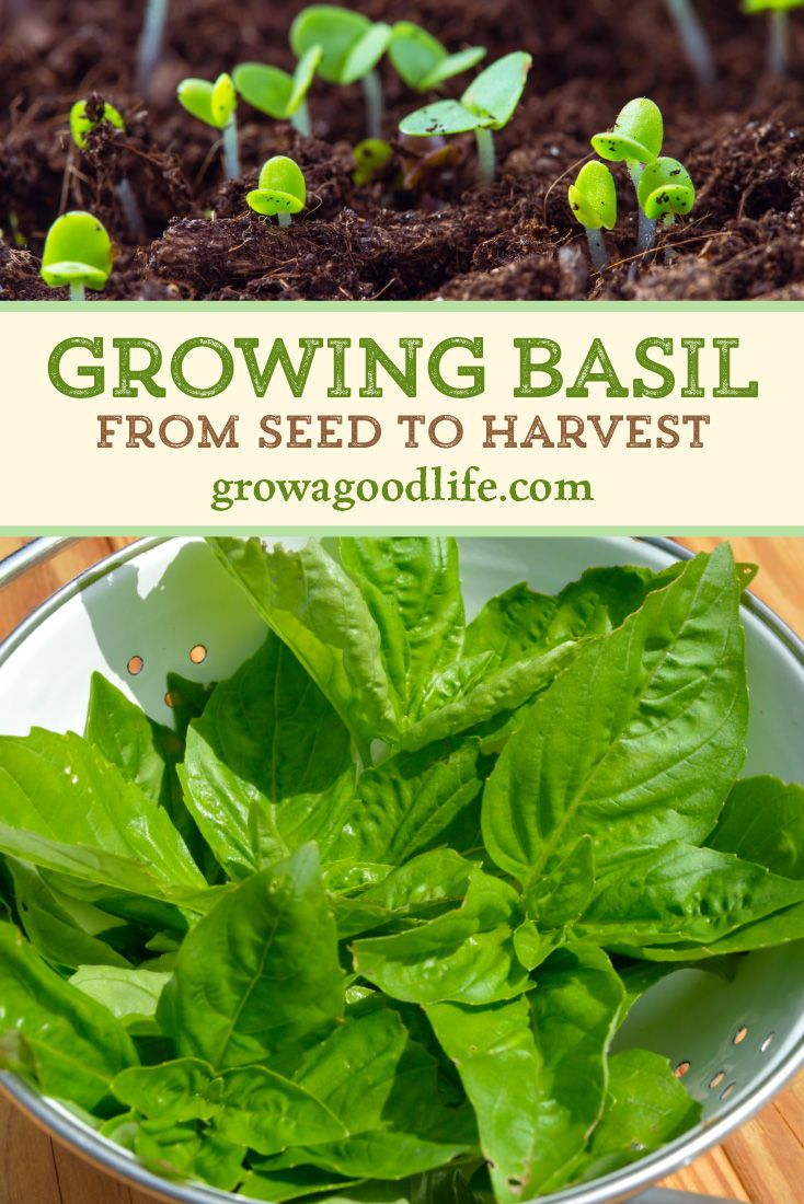 Growing Basil from Seed to Harvest #outdoorherbgarden