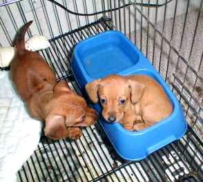 Miniature Dachshunds get a look at these cuties