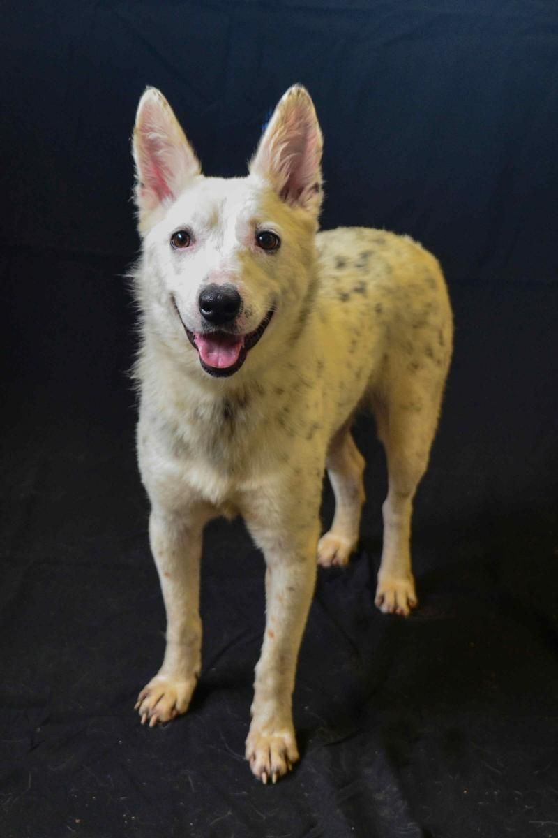 01/17/16-Tessa is an adoptable Australian Cattle Dog (Blue Heeler) searching for a forever family near Houston, TX. Use Petfinder to find adoptable pets in your area.
