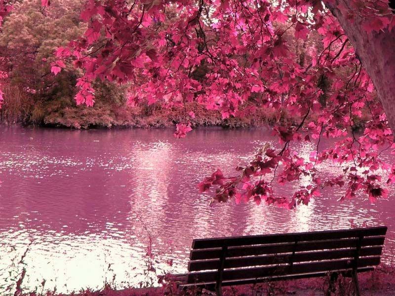 japanese cherry blossom japaneasy - Japanese Garden Cherry Blossom Paintings