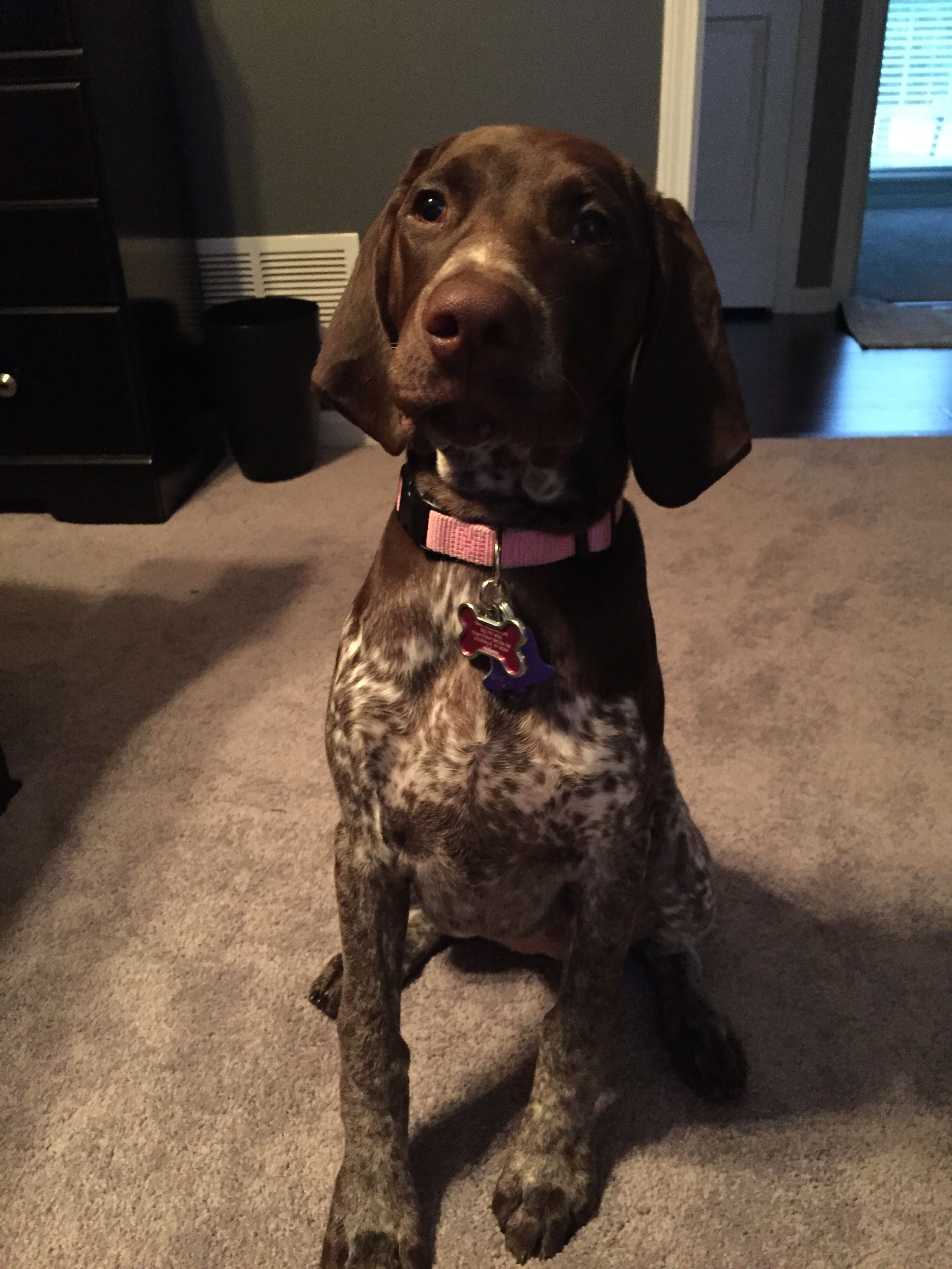 Ruby Jean Gsp German Shorthaired Pointer German Shorthaired