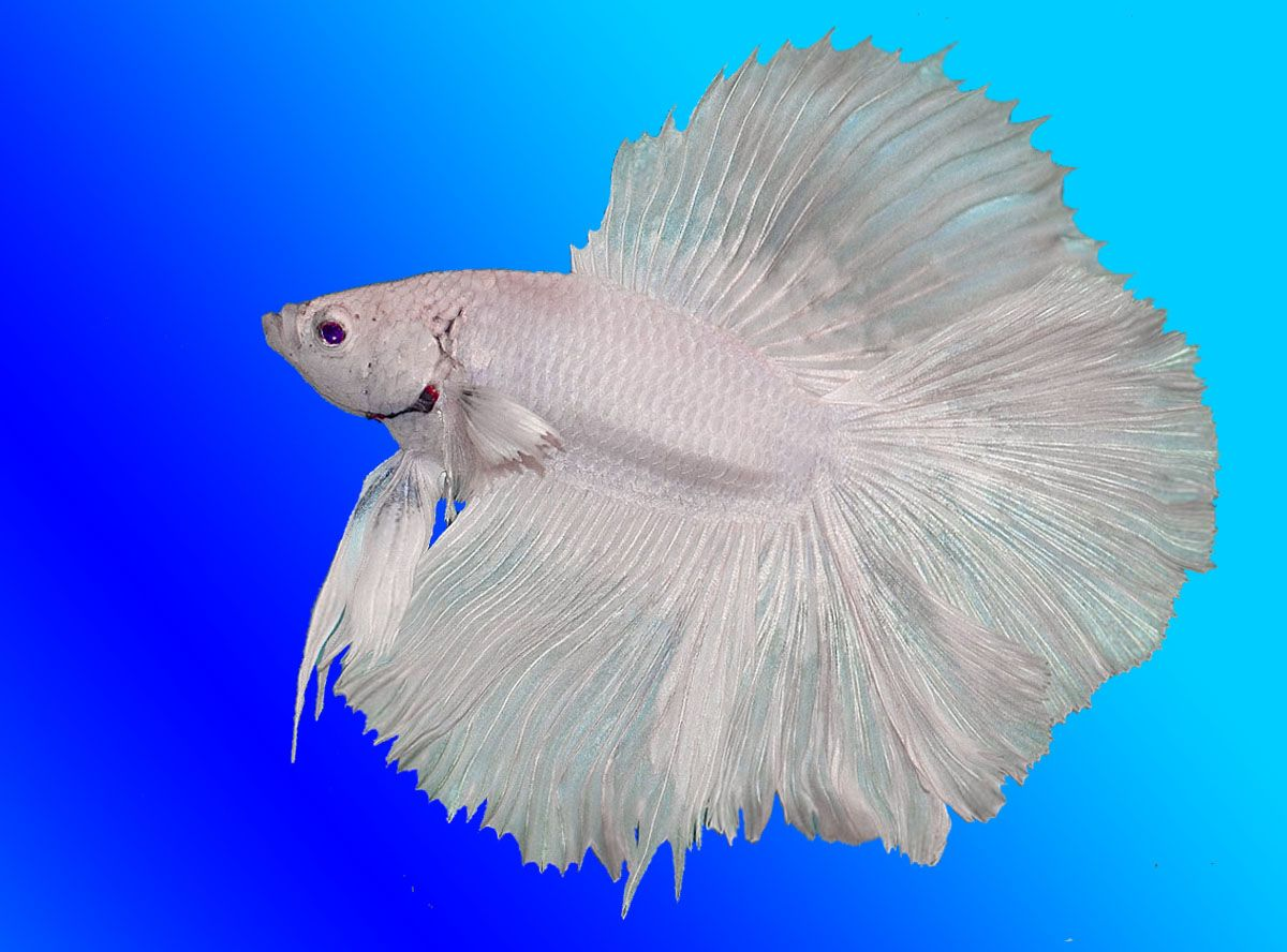 15 List Different Types Of Betta Fish With Pictures Fish Betta