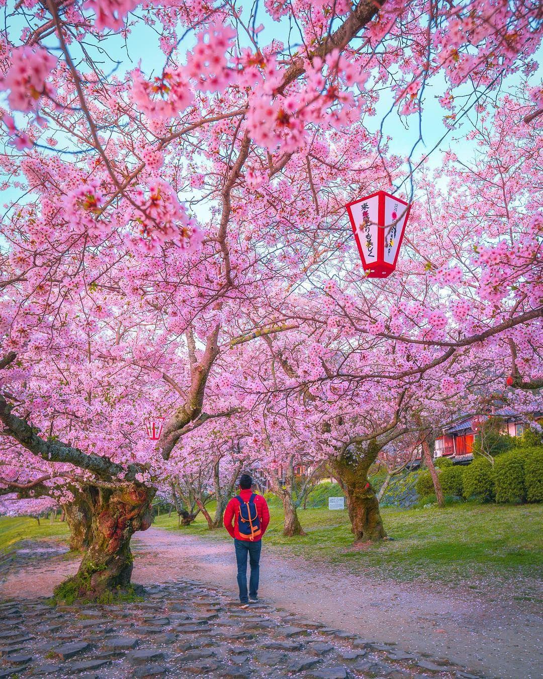Japanese Cherry Blossom Cherry Blossom Japan Cherry Blossom Nature