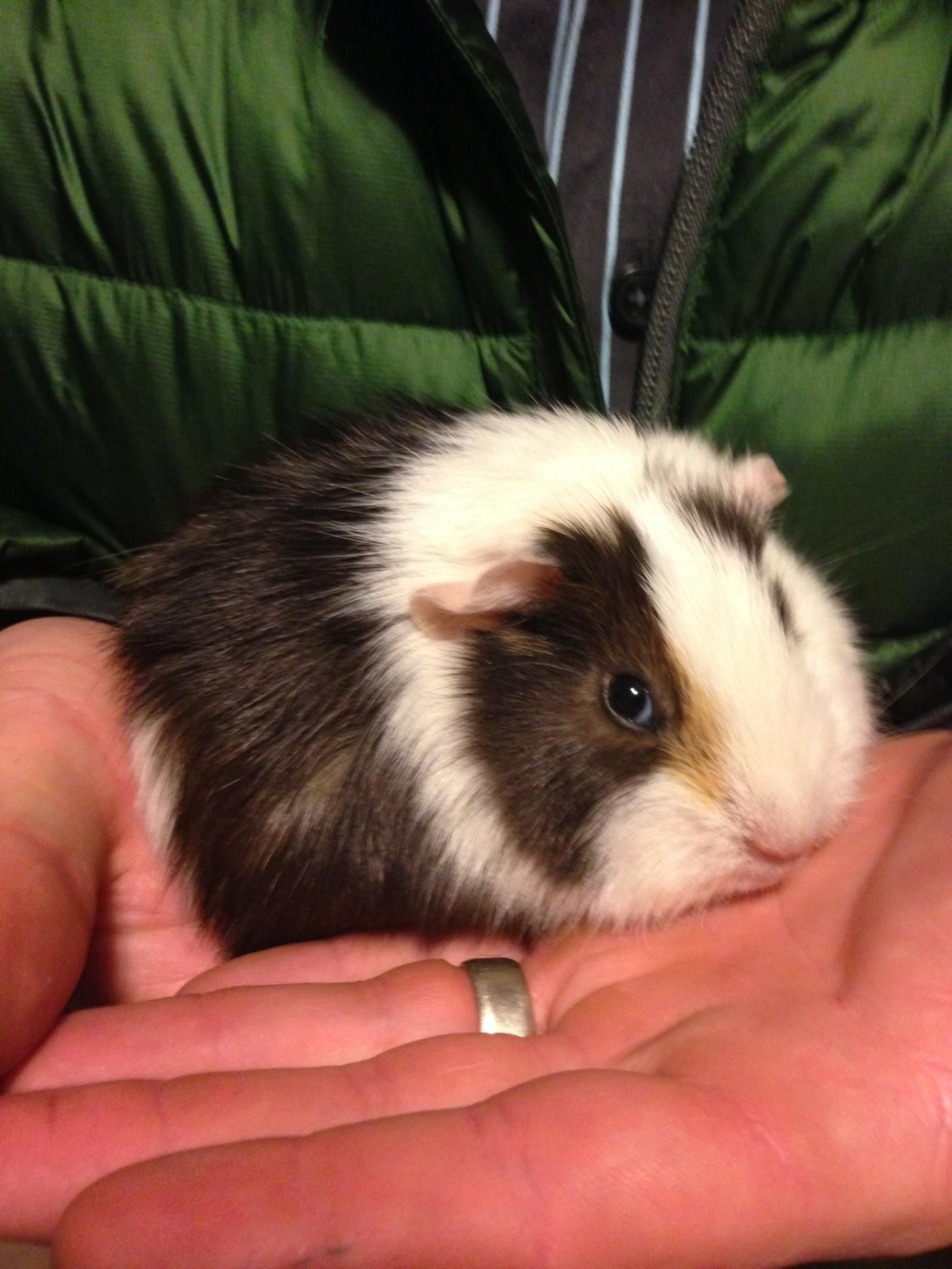 Joseph the cutest Guinee pig | Outfits | Pinterest | Conejo, India y ...