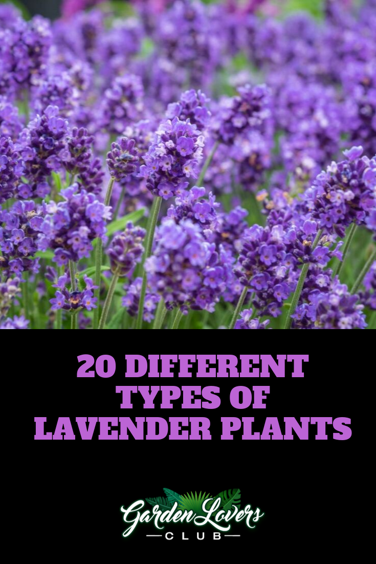 Understand The Different Types Of Lavender Lavender Plant Lavender Plant Care Buy Lavender Plants