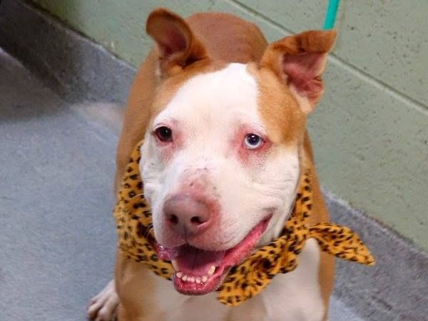 GONE --- TO BE DESTROYED 12/19/14 Manhattan Center   POPI - A1023216  *** NEW HOPE ONLY ***  MALE, TAN / WHITE, AMERICAN STAFF MIX, 5 yrs STRAY - STRAY WAIT, NO HOLD Reason STRAY  Intake condition EXAM REQ Intake Date 12/15/2014, From NY 10460, DueOut Date 12/18/2014,  https://www.facebook.com/photo.php?fbid=923256111020602 ++He's fun, loving, social and sweet++