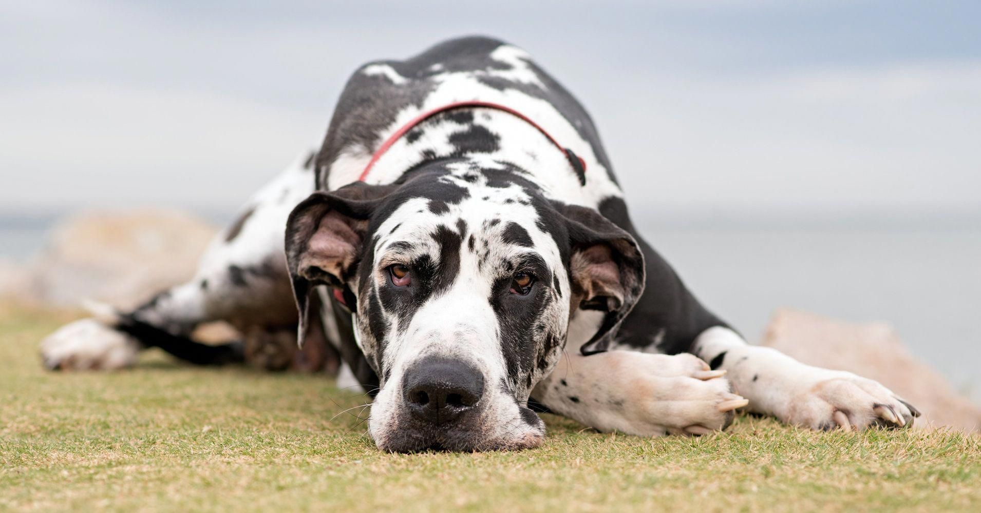 The Many Things We Love About The Affectionate Great Danes Pups