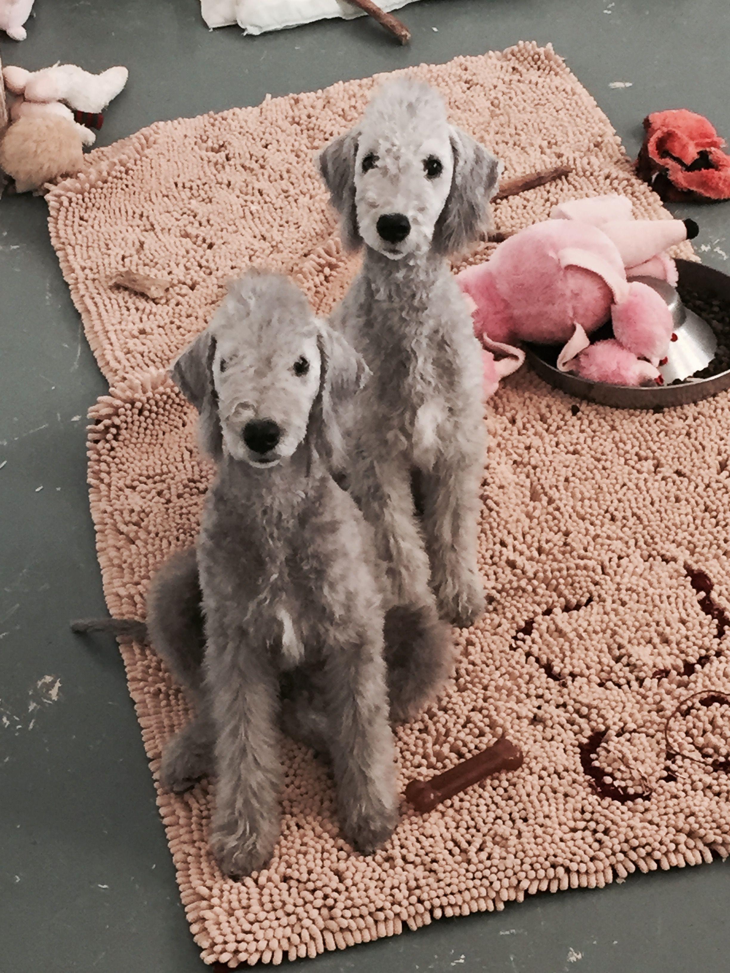 Bedlington Terrier Cute Overload Pinterest Bedlington Terriers