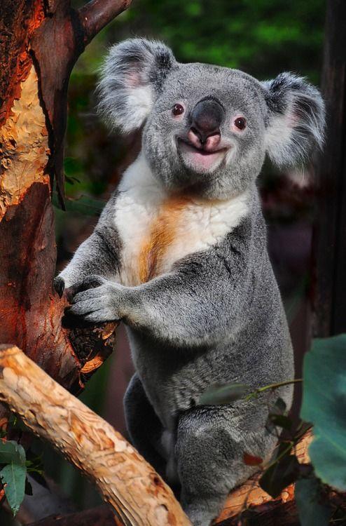 Бритая коала