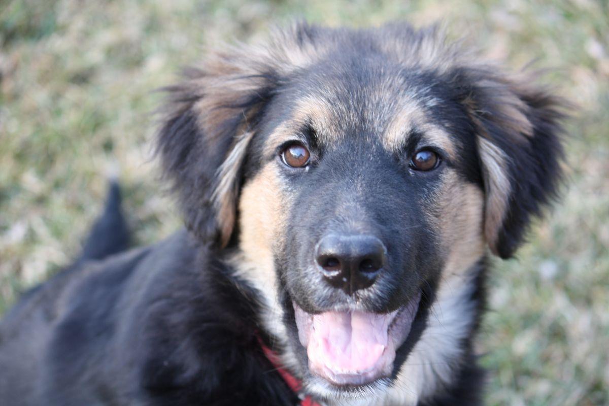 Euro Mountain Sheparnese German Shepherd Mix Bernese Mountain Dog Poodle Burmese Mountain Dogs