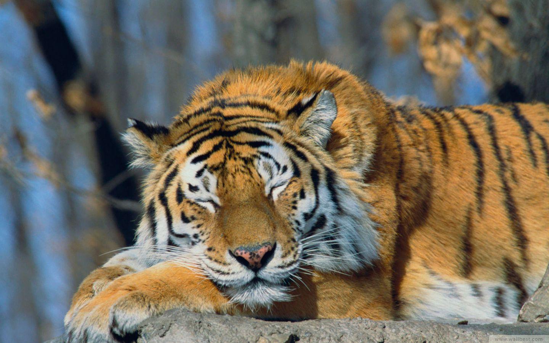 Tired tiger wallpaper | AllWallpaper.in #1626 | PC | en |Bengal Tiger Tired