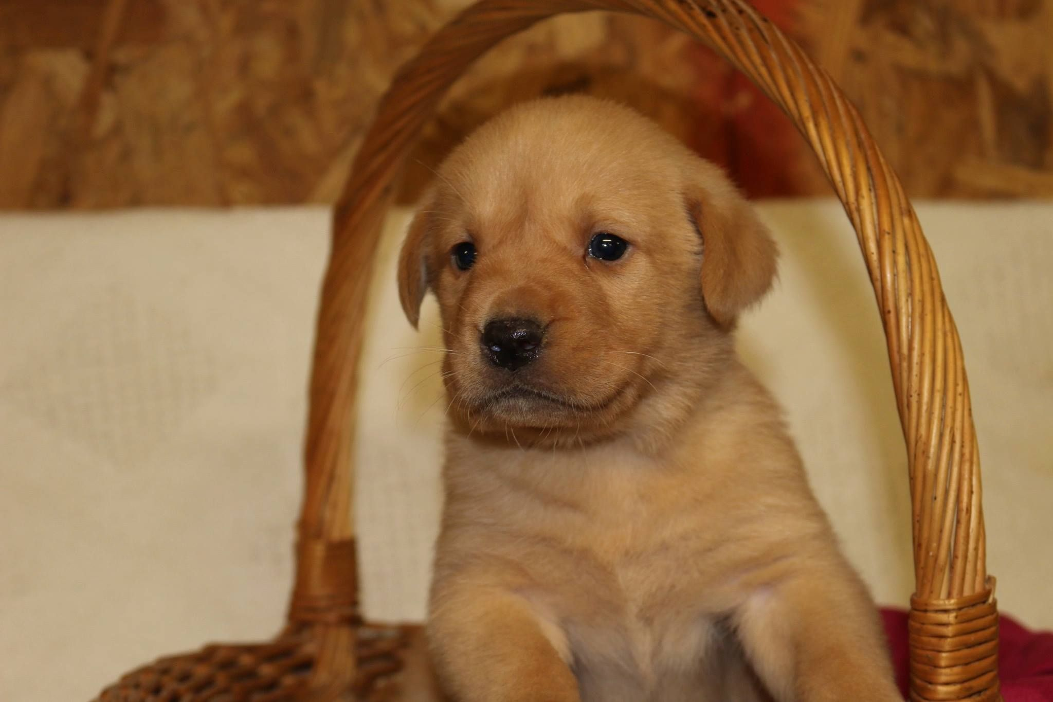 Pin by Rock Springs Lab Kennel on Available British Lab