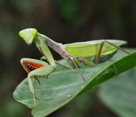 Rainforest Mantid Hierodula Majuscula Weird Creatures Praying Mantis Wildlife