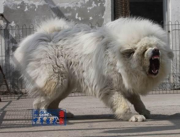 Tibetan Mastiff Vs Caucasian Ovcharka