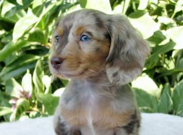 This Breeder Has Adorable Pups Beautiful Souls Dachshund