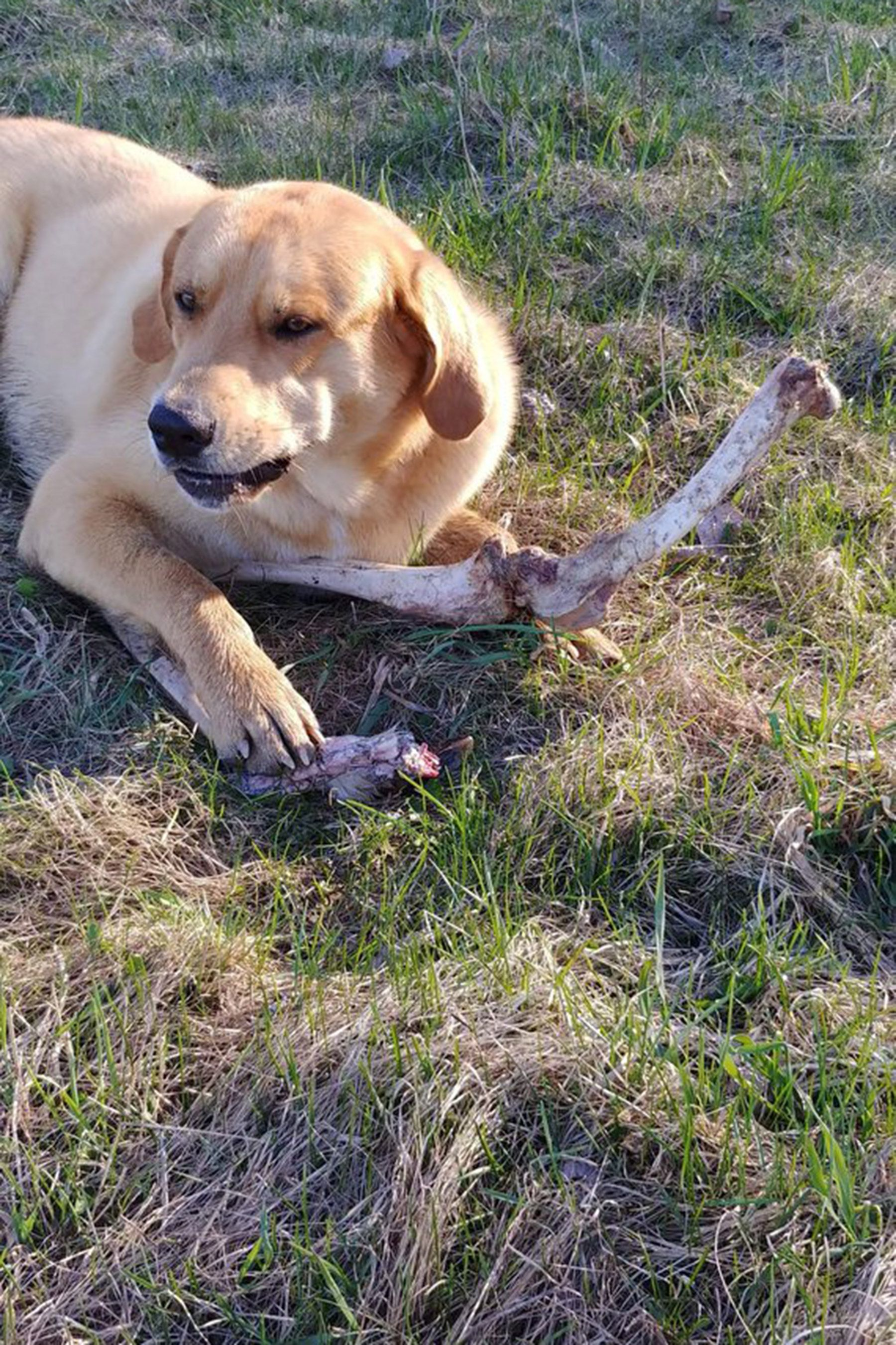 Bear Continuously Bribes Guard Dog With Deer Bones So It Can Dig