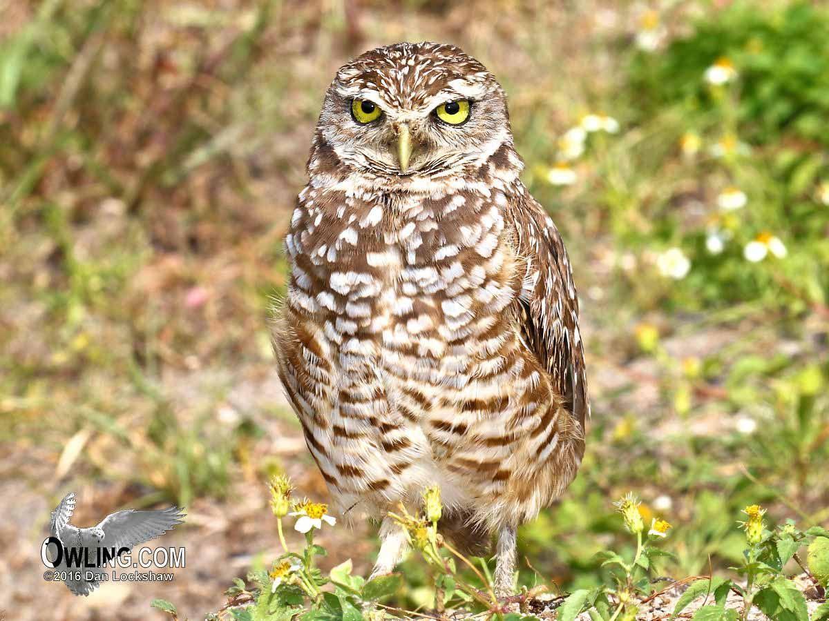 Miami, Florida 5/2016 Burrowing owl, Owl, Prairie dog