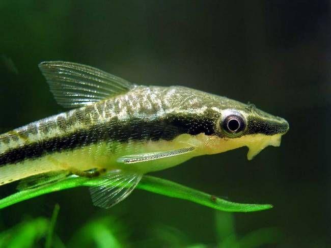 Отоцинклюс аффинис (Otocinclus affinis) | Статья | Рыбалка ...