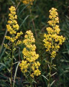 Showy Goldenrod Goldenrod Flower Plants Native Plants