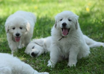 Puppy Milestones 4 Goals To Make Sure Your New Puppy Is Healthy