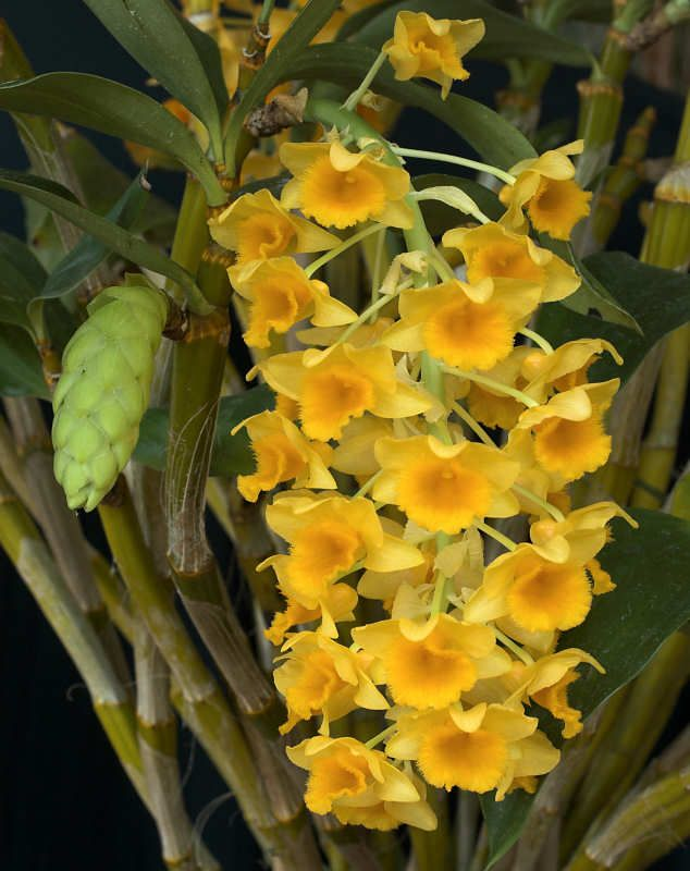 Dendrobium Densiflorum Inflorescence And Bud Clear Mountain Garden Treasures Orquideas Flores Lindas Ver Flores