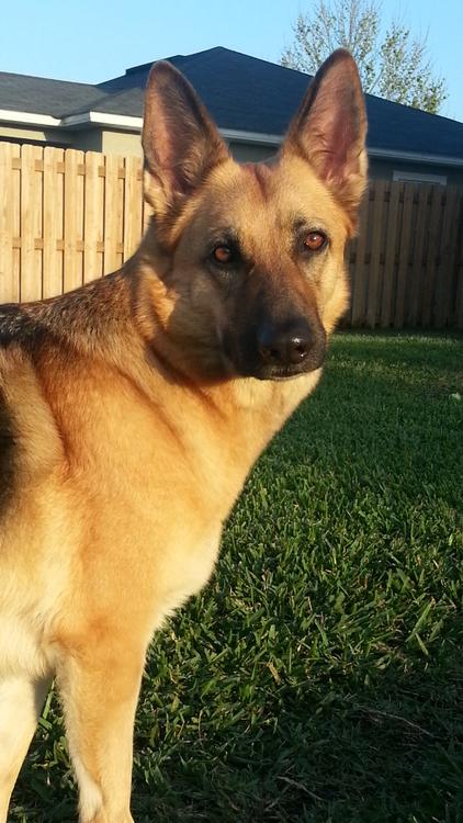 Handsomedogs Hailey Short Haired German Shepherd Dog Rules Family Dogs
