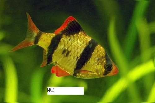 Aquarium Fishes Difference Between Male And Female Tiger Barb Fish Tropical Fish Tropical Fish Aquarium Tropical Freshwater Fish