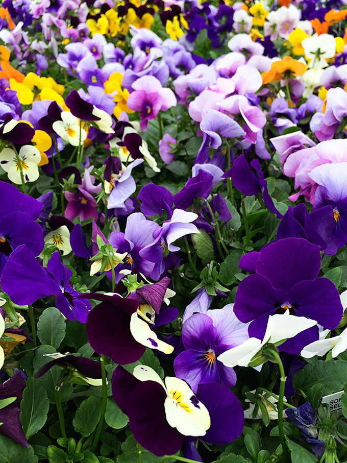 Early spring flowers that can take the chill bloggers best diy viola viola x wittrockiana cold tolerant early spring flowers to plant now and enjoy all spring long these colorful plants can survive a light frost mightylinksfo
