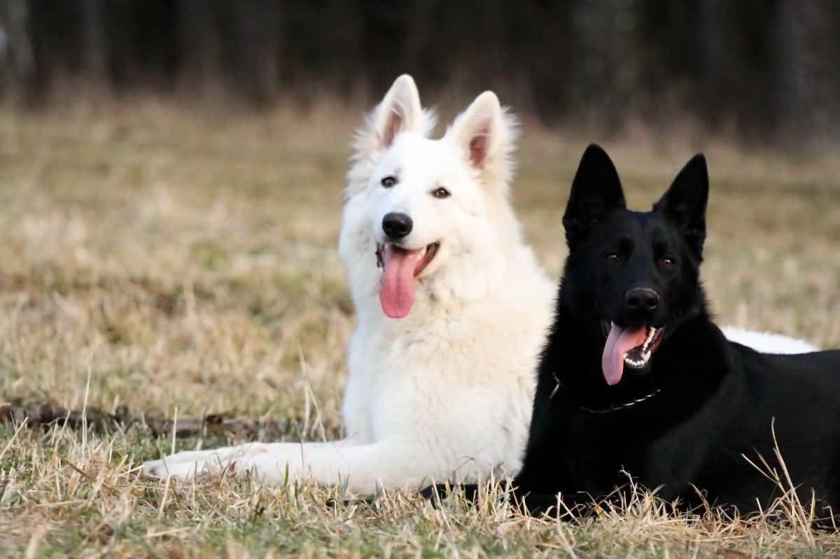 All White German Shepherd For Sale Black German Shepherd Puppies White German Shepherd German Shepherd Puppies
