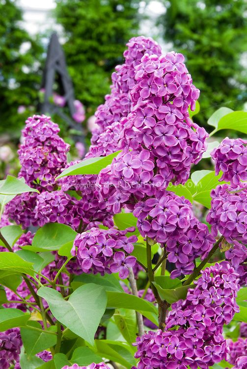 Lilac In Bloom In May Syringa Vulgaris Fragrant Flowers Spring Planting Flowers Syringa Vulgaris Planting Flowers