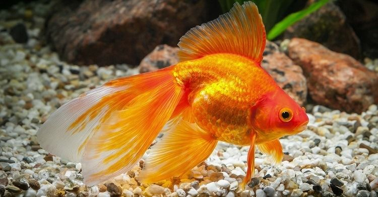 How To Look For A Pregnant Goldfish Goldfish Care Goldfish Pet Fish