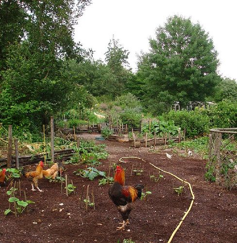 The chickens have been busy weeding by hardworkinghippy, via Flickr