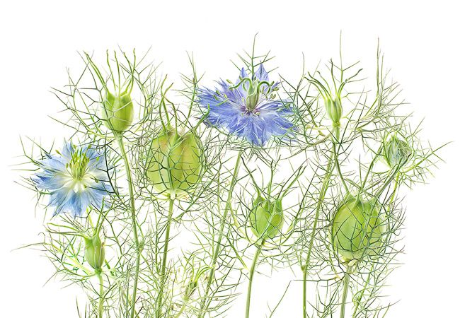 The New Seeing Flowers Brings You Up Close And Personal With Your Favorite Blooms The Horticult Botanical Illustration Nigella Flowers
