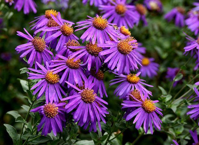 Michaelmas Daisies Daisy Michaelmas Daisy Wedding Flowers